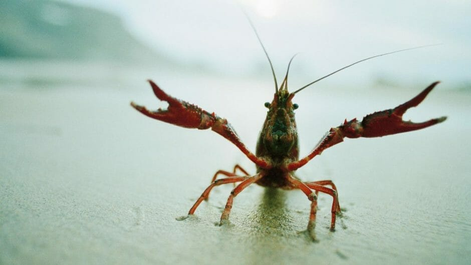 Weird and wonderful colourful crayfish species discovered ...  |Common Crayfish